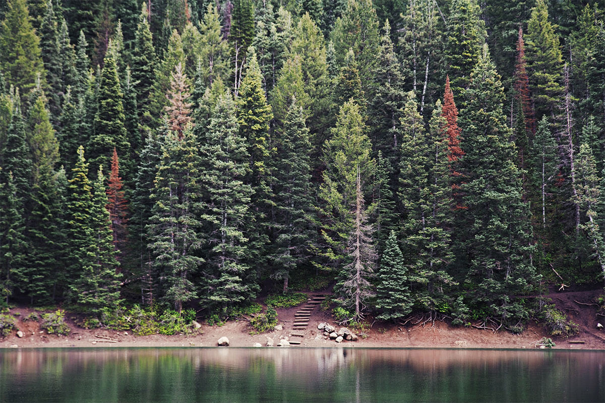 Evergreen trees by a lake